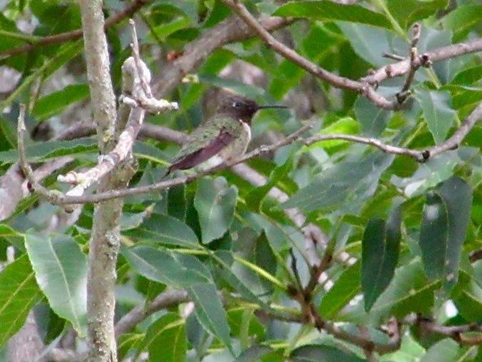 Female Humminbird